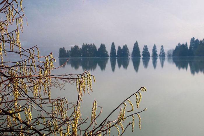 穏やかな錦秋湖。キブシが満開です。 Photo by 瀬川強